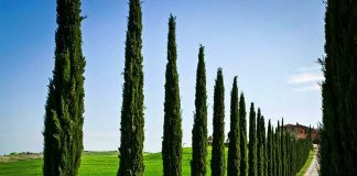 How Cypress is useful in Aromatherapy
