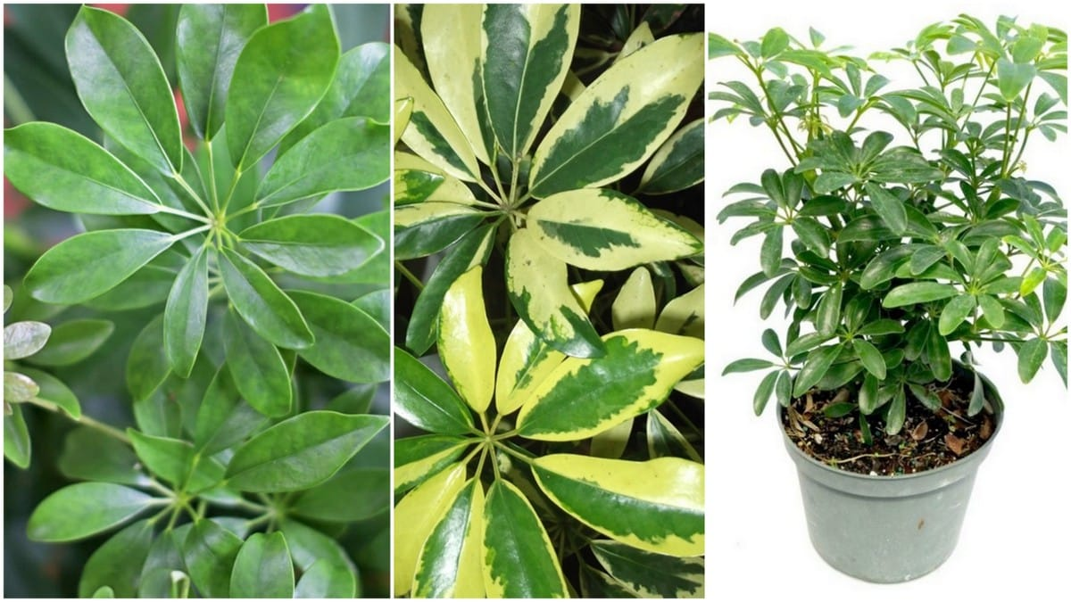 Dwarf umbrella tree 101 care and growth of schefflera for Schefflera arboricola