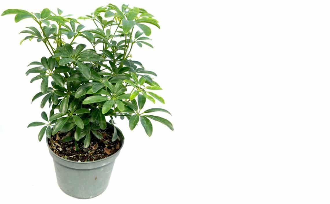 Dwarf Umbrella Tree 101 - Care and Growth of Schefflera Arboricola on umbrella tree schefflera arboricola, umbrella tree care, umbrella tree fruit, umbrella tree plant propagation, umbrella tree bulbs, umbrella tree leaf, umbrella tree tree, umbrella tree fertilizer, umbrella tree potted plant, umbrella tree christmas, umbrella tree flower, umbrella tree tropical, umbrella tree bark, umbrella tree indoor, umbrella tree furniture, umbrella tree seeds, umbrella tree leaves, umbrella tree bonsai,