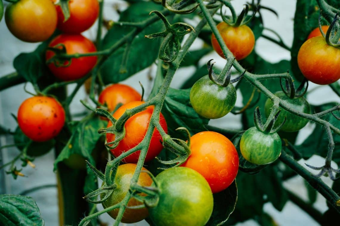 Hydroponic system for tomatoe