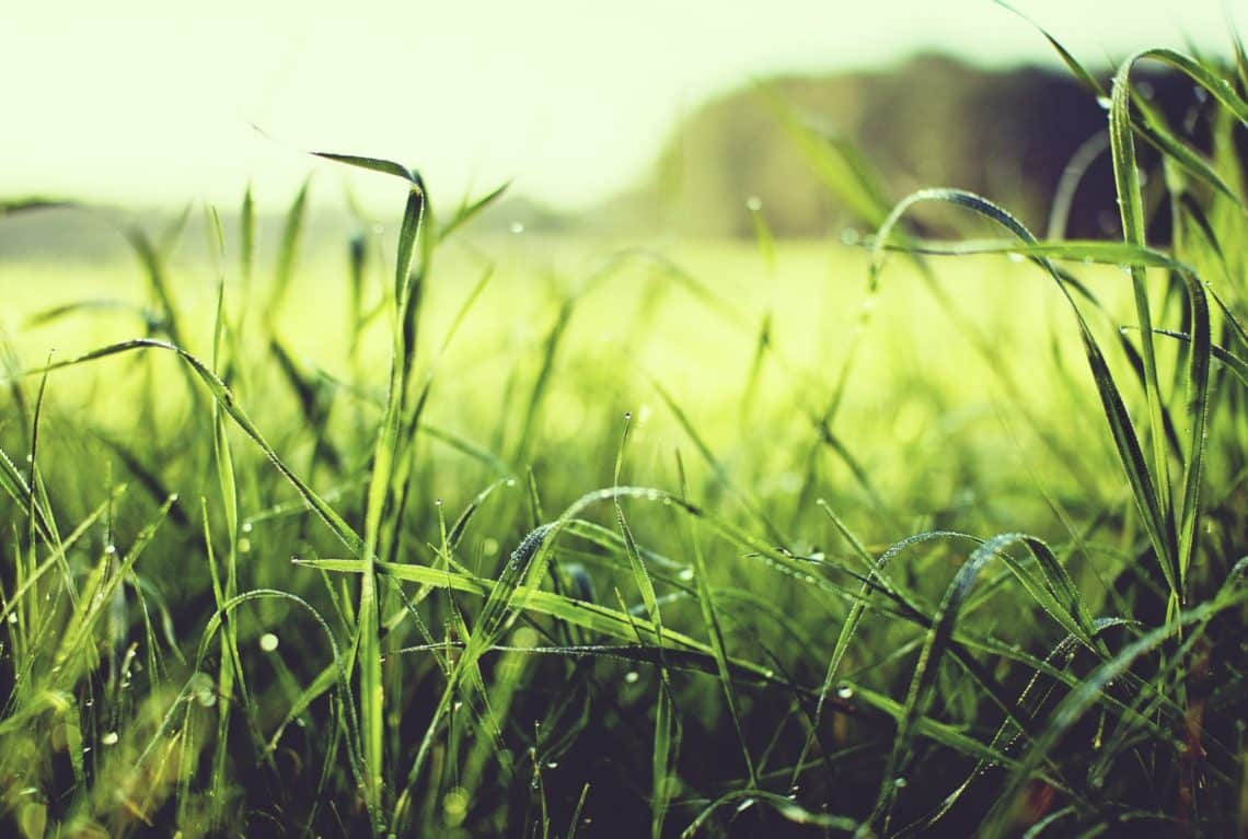 Remedies for Heat-Burnt Grass