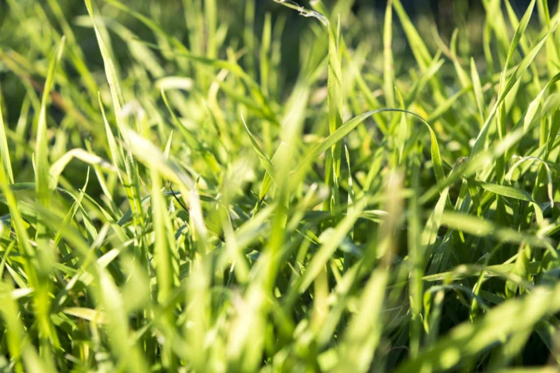 8 remedies for heat burnt grass for a refreshing summer lawn 4