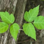 Poison ivy gettyimages 157161379 588ea5f83df78caebc634b141