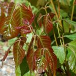Poison ivy spring red leaves big 5a8b4e4ac67335003731909a1