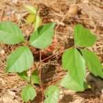 Young leaves poison ivy big 56a5890f3df78cf77288b3b71