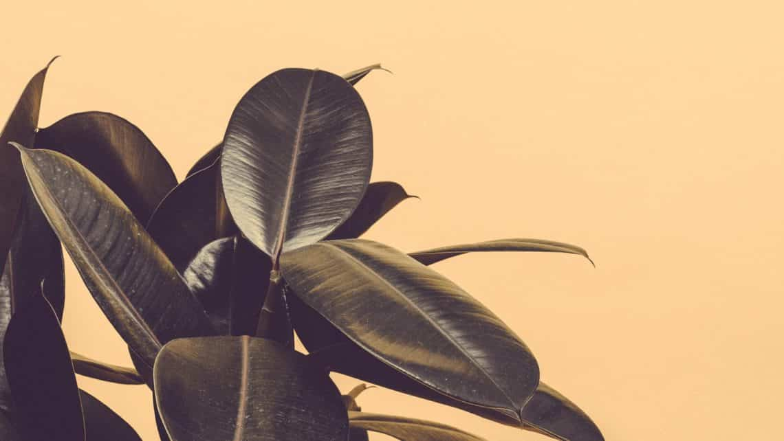 Rubber plant purifying air