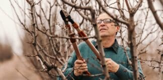 Hardworking mature adult Caucasian fruit grower in jumper pruning fruit tree at spring.