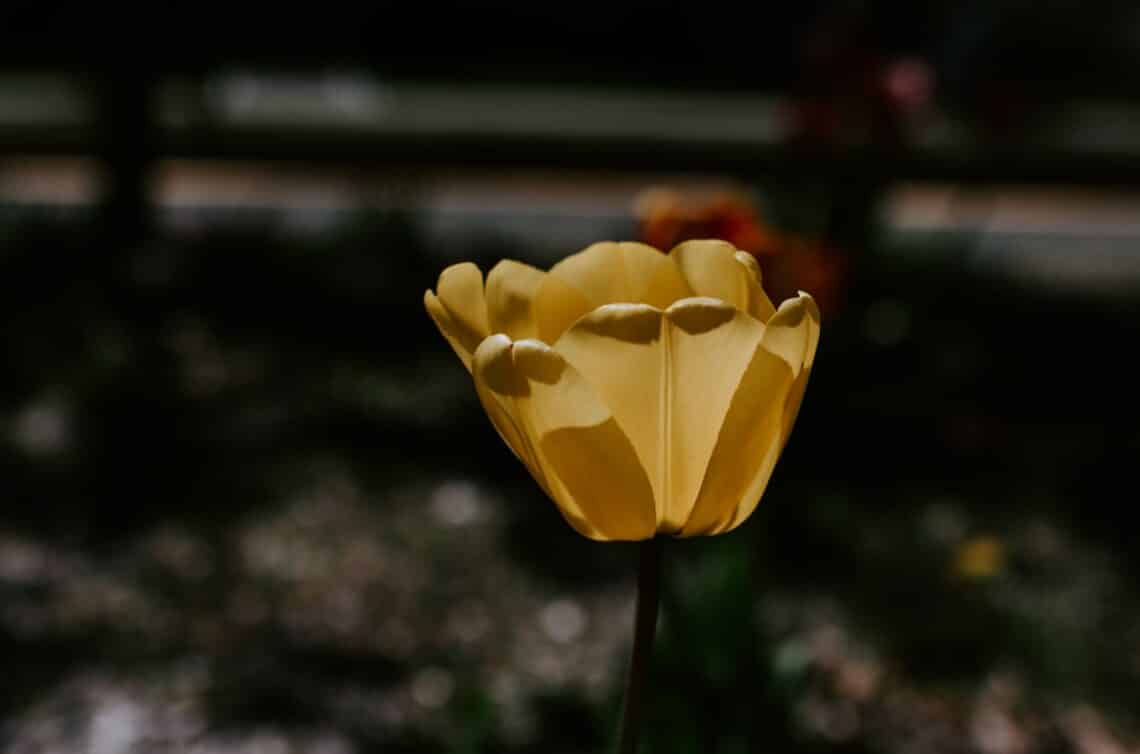 Tulips 101 how to plant grow and care for tulips flowers 1