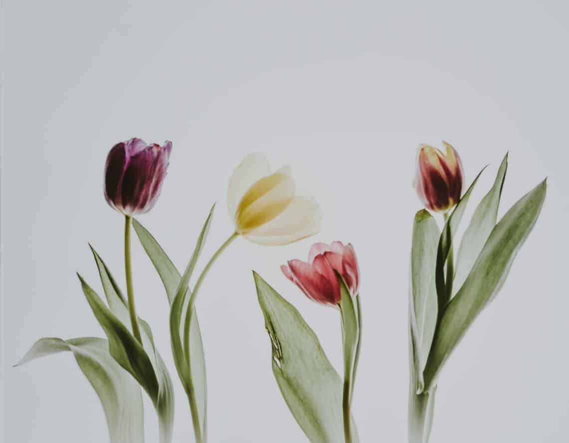 Tulips 101 how to plant grow and care for tulips flowers 2