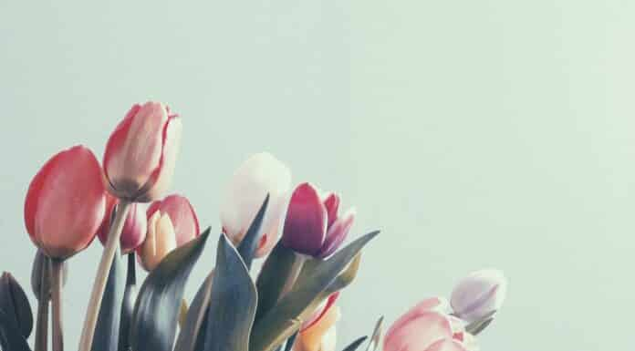 How to Plant Grow and Care for Tulips Flowers