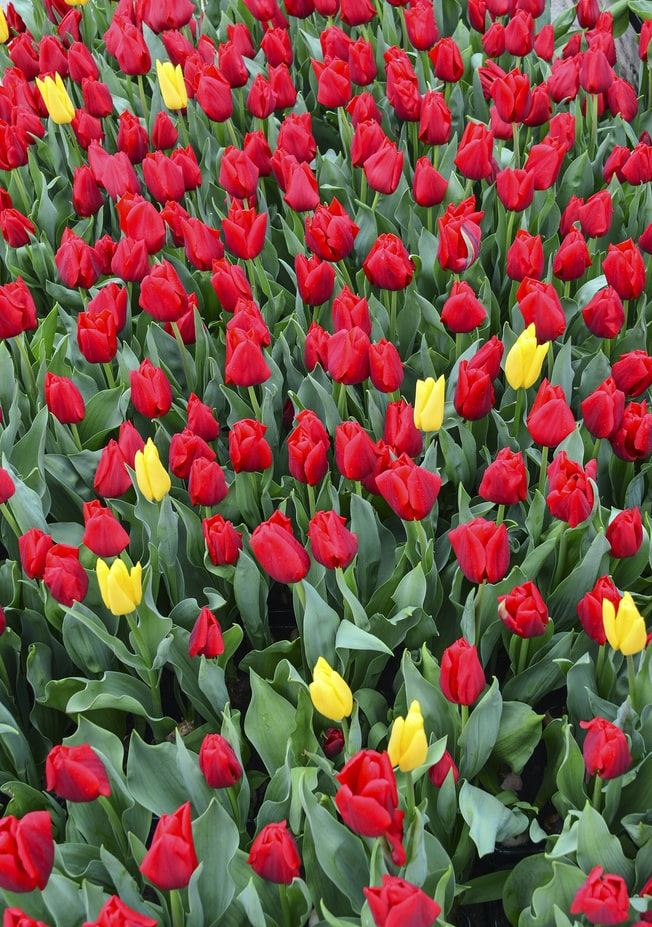 Tulips 101 how to plant grow and care for tulips flowers 4