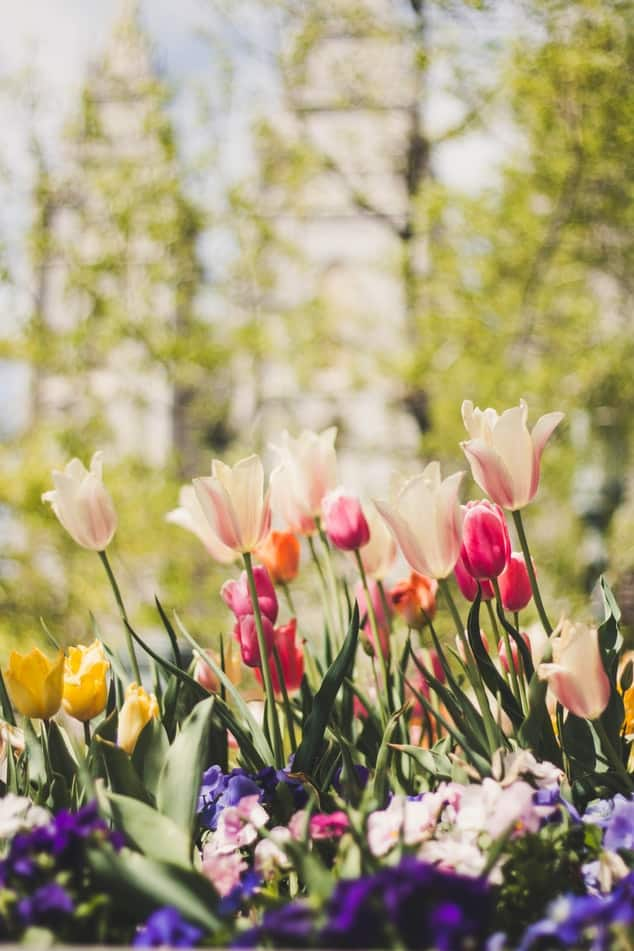 Tulips 101 how to plant grow and care for tulips flowers 5