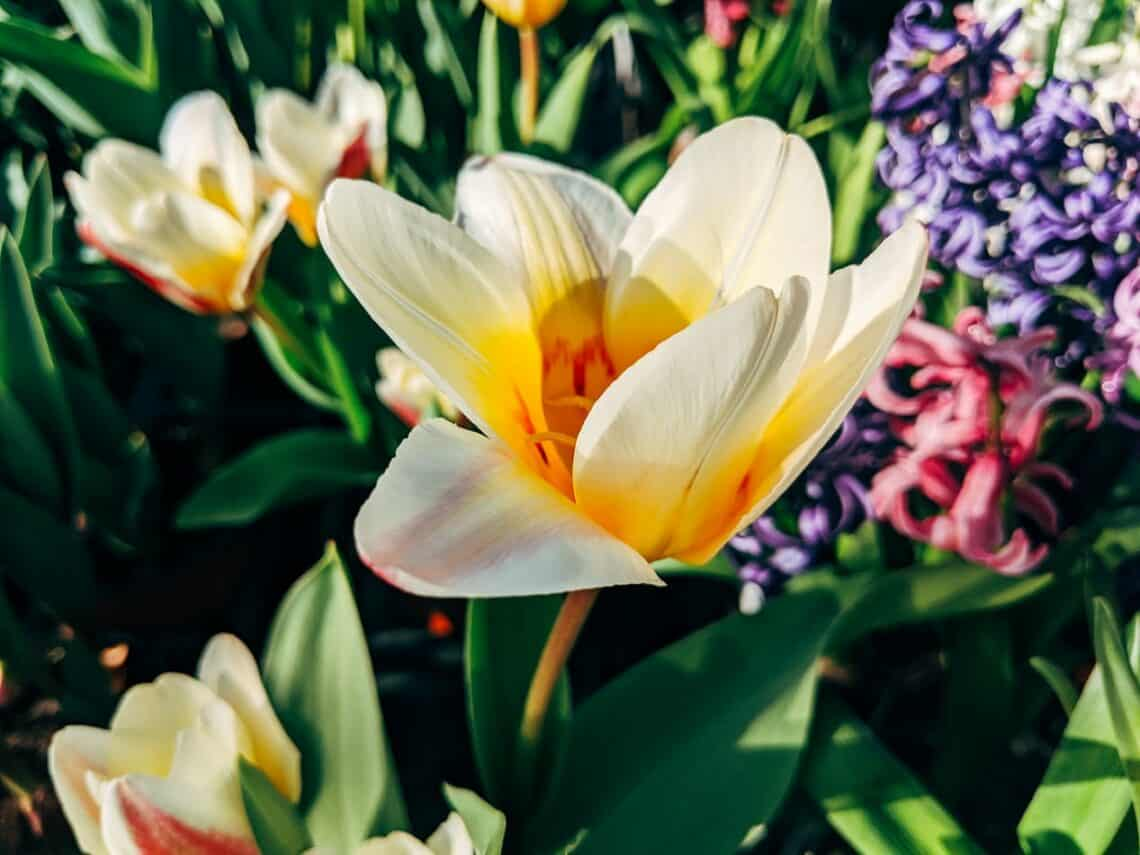 Tulips 101 how to plant grow and care for tulips flowers 7