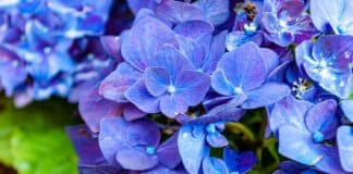 A closeup shot of beautiful hydrangea flowers on a blurred background