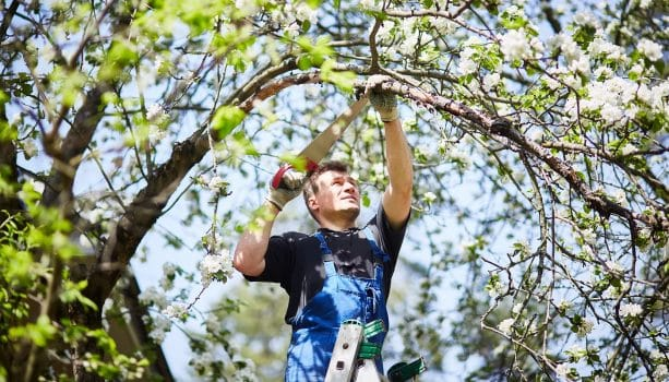 A man with a saw cuts a branch of a blooming apple tree in the garden