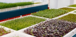 Growing microgreens on table background. Healthy eating concept. Fresh garden produce organically grown as a symbol of health. Microgreens closeup.