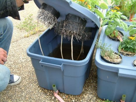 """Hydroponic system with a """"stagnant"""" water reservoir in the bottom of a plastic container (e.g. """"RubberMaid"""") that is wicked up to the roots of plants that are wedged into the lid of said container. (Photo courtesy of David Wees)"""