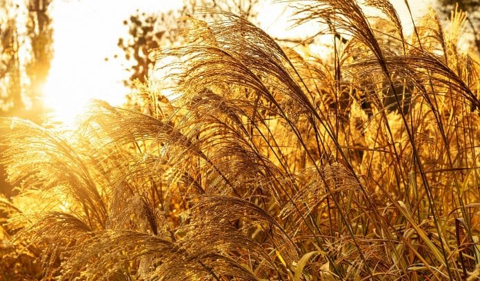 Pampas grass or dry reed in the fall warm rays of sunset. Trendy gold color. Natural background.