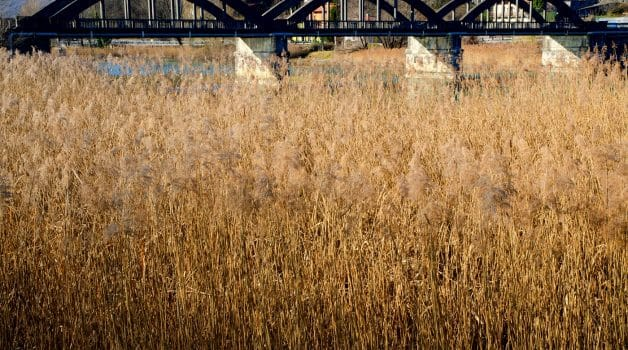 A field of pampas grass and a bridge in piedmont, italy