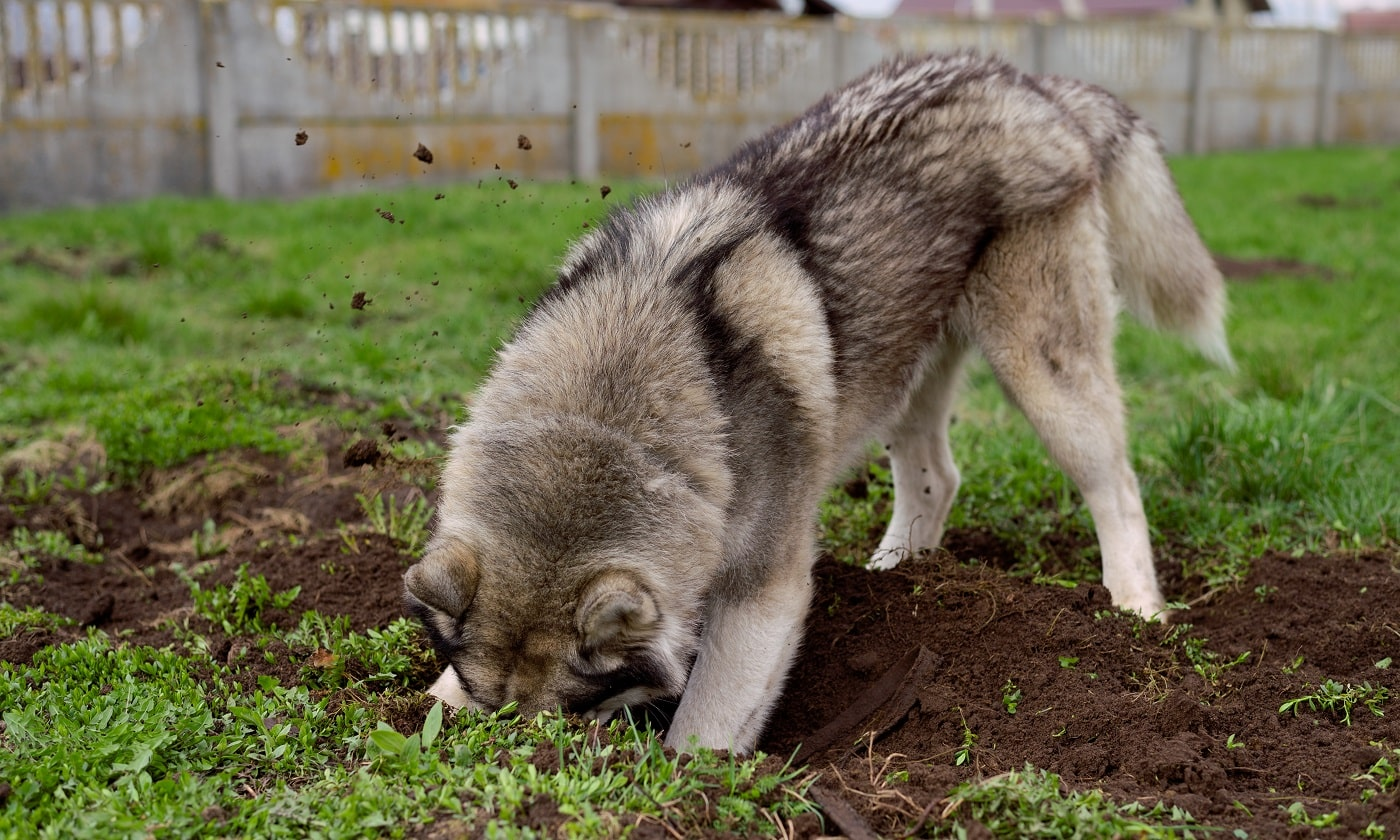 The husky dog digs a hole in the ground.