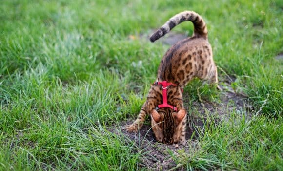 Bengal cat digs a hole in the lawn, walking with a cat on a harness