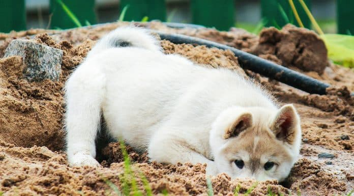 a small West Siberian husky puppy digs a hole in the sand. cute pet playing in the street.