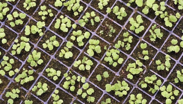 Vegetable sprouts in development by hydroponics technique. Sao Paulo state, Brazil