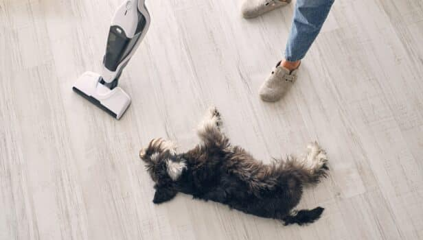 From above of miniature schnauzer dog lying on laminate floor near crop anonymous female owner in slippers and jeans cleaning apartment with upright vacuum cleaner